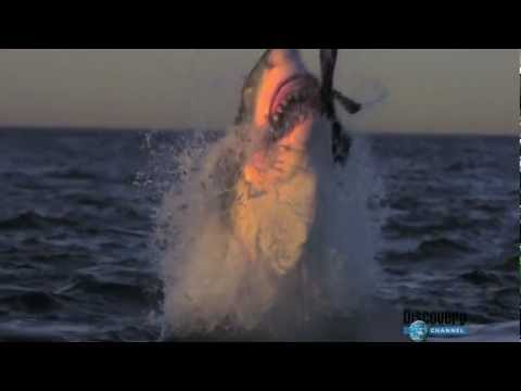 the biggest sharks - great white shark attacking seals