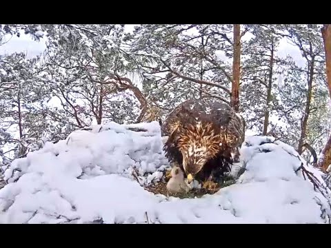 Golden Eagles Latvia 05 12 20 Morning every thing on nest & the area was covered in a hea… видео