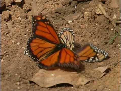 Monarch butterflies mating.