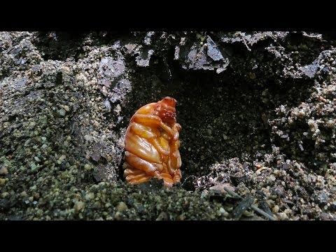 夏を待つ カブトムシのサナギ