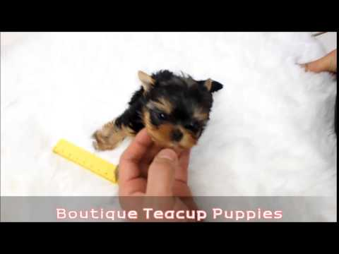 Amazing Micro Teacup Yorkie Brie