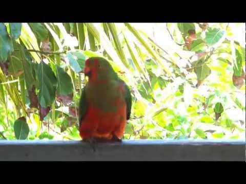 Australian King Parrot Juvenile male Singing practice ????????????????? ????