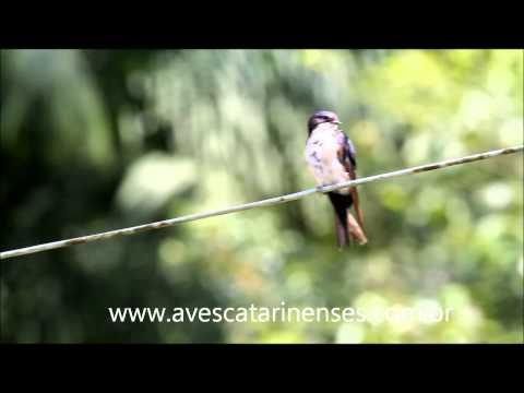 Andorinha-pequena-de-casa - Cristiano Voitina