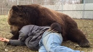 Video Why Doesn't Jimbo The 1,400-lb Bear Rip This Man To Shreds? MP3, 3GP, MP4, WEBM, AVI, FLV Mei 2017