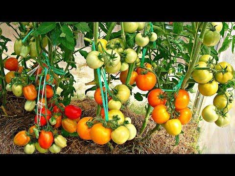 Посадка помидоров по два в лунку, что дает (видео)