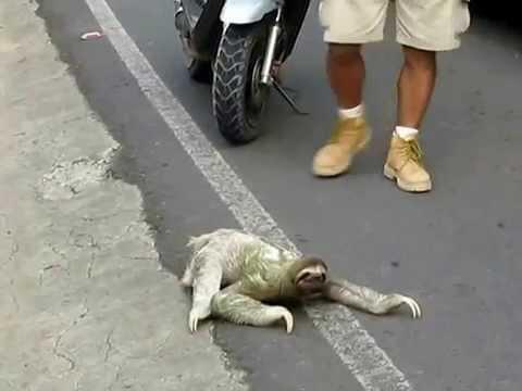 dünyanın en yavaş tembel hayvanı