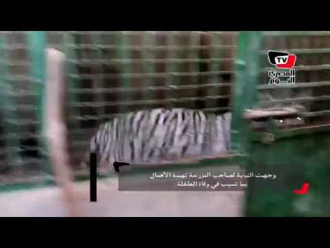 نمر يفترس طفلة في العياط.. والأهالي يقتلونه بالشوم