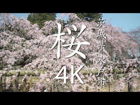 【絶景茨城】桜[4K]茨城県水戸市|VISIT IBARAKI, JAPAN