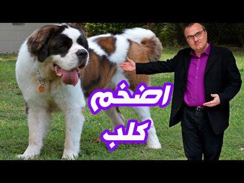 العرب اليوم - شاهد:أقوي وأضخم كلب في العالم