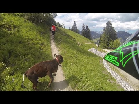 mountain biker vs cow (видео)