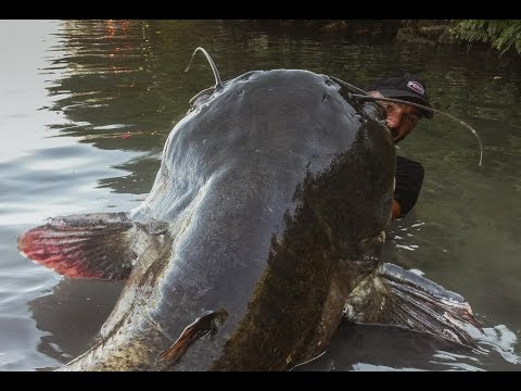 INCREDIBLE HUGE CATFISH