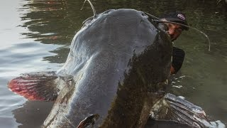 INCREDIBLE HUGE CATFISH 8,5 FEET - 250 LBS - HD by YURI GRISENDI