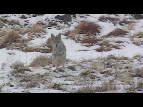 Coyote calling with a small gun!