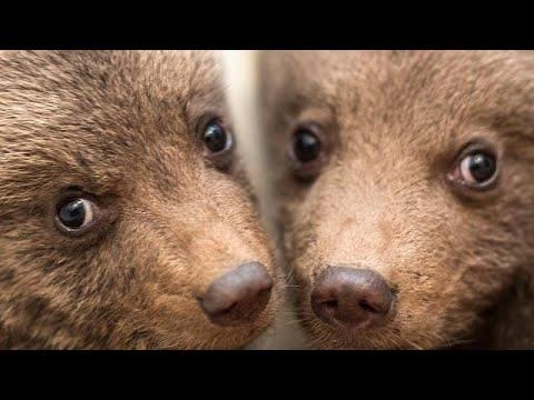 Βουλγαρία: Μάχη για τη ζωή δίνουν 3 ορφανά αρκουδάκια