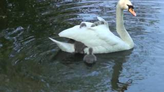 Bet You Didn't Know Baby Swans Traveled This Way!