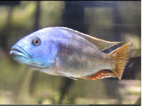 [HD 1080p]Nimbochromis fuscotaeniatus / ニンボクロミス・フスコタエニアータス