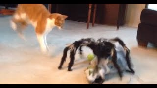 Video Jumping Spider vs Cat! Freakout! MP3, 3GP, MP4, WEBM, AVI, FLV Mei 2018