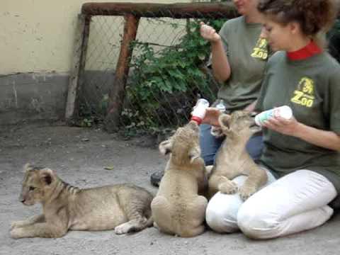 Kölyök oroszlánok etetése 2009. nyár