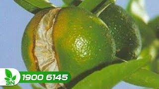 Trồng trọt | Tìm hiểu nguyên nhân cây cam bị nứt quả