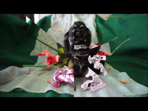 Amelia AKC Black Tan Female Cocker Spaniel Puppy for sale.