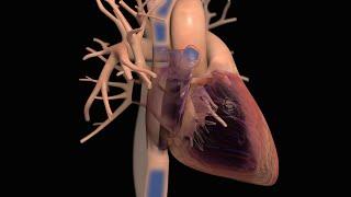 Giải phẫu bình thường và chức năng của tim