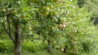 How to Grow Apple Trees - Complete Growing Guide