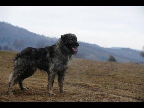 Download Ciobănesc Românesc Carpatin / Rumanian Sheepdog 3gp, mp4