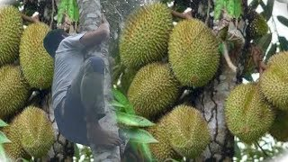 Video Harvesting Durian Fruits In Maragusan Philippines MP3, 3GP, MP4, WEBM, AVI, FLV Desember 2018