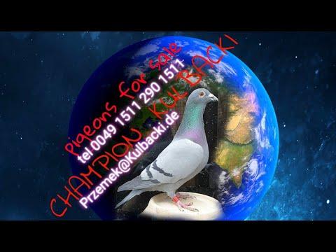wszystkie z filmu sprzedane! GRATULACJE SUPER GOŁĘBIE!  #RODOWODY NA DNIE KLATKI!!!#CHAMPIONKULBACKI