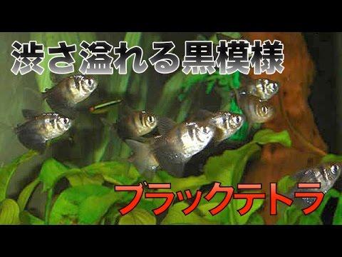 【熱帯魚・カラシン】ブラックテトラ (Aqupedia)