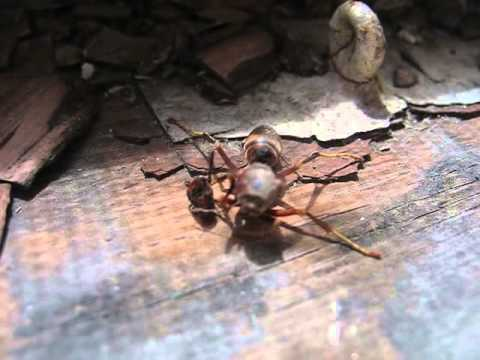 Decapitated wasp grabs its head and flies away