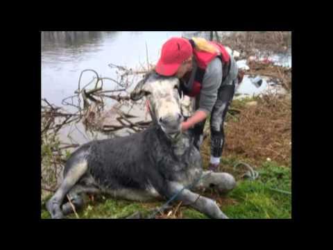 這些救援人員用盡全力把受困的驢子救上岸,完全沒料到牠竟然會給大家這個超爆笑的反應!
