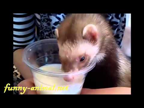 cute-ferret-drinking-soy-bean-milk