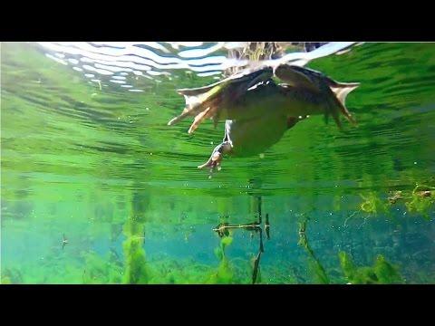 GoPro Frog Swimming (Underwater Footage)