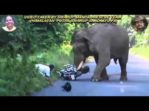 Video Wild Elephant Attack download in MP3, 3GP, MP4, WEBM, AVI, FLV January 2017