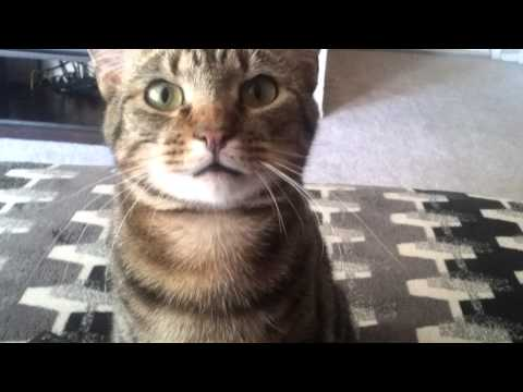 Kitty drops toy then complains about it