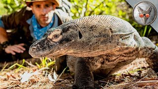 Face to Face with a Komodo Dragon! - in VR180! by Brave Wilderness