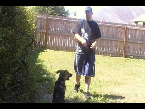 German Shepherd Training OOPS! Funny GSD K9