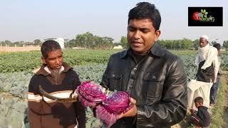 রঙ্গিন বাধাকপি: Red/Purple cabbage চাষ বাংলাদেশে- এন্টিওক্সিডেন্টে ভরপুর