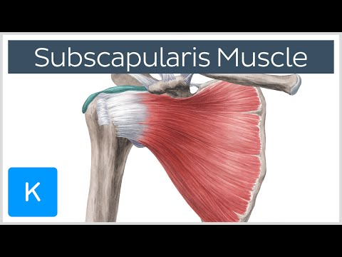 Subscapularis Muscle - Origin, Insertion, Innervation & Action - Human Anatomy | Kenhub