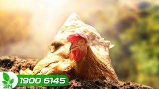 Chăn nuôi gà   Cách trị bệnh CRD hiệu quả, không tái phát