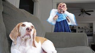 Funny Dogs vs Zombie Baby Prank: Maymo & Penny