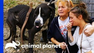 38 Dogs Saved From Horrific Conditions | Pit Bulls & Parolees by Animal Planet