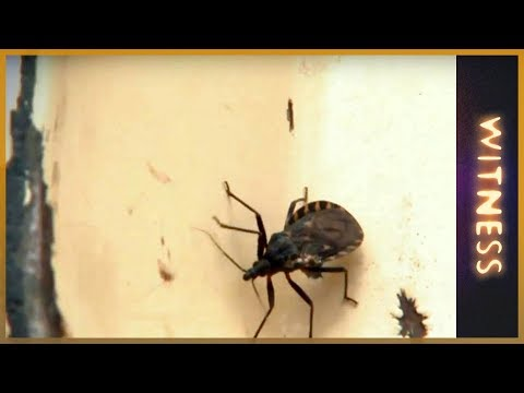 witness - It is deadly, it is spreading quickly and most of the world has never heard of it. Chagas, a parasitic disease is spread by the vinchucas bug bite. In rural ...