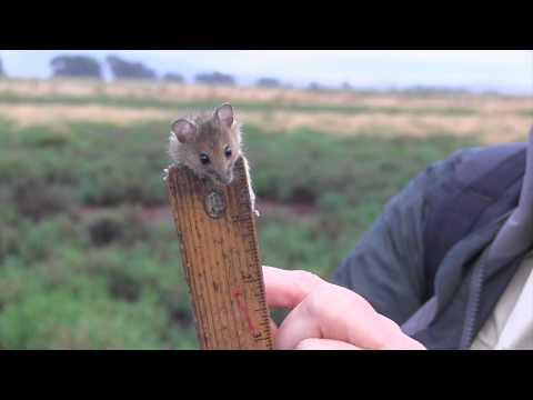 Salt Marsh Harvest Mouse Survey