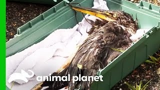 Badly Injured Heron Needs Urgent Medical Attention | North Woods Law by Animal Planet