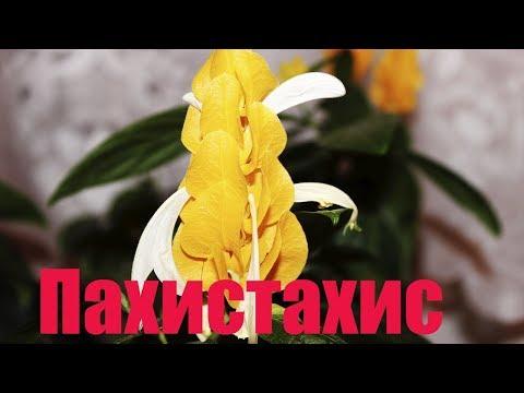 Пахистахис — «золотая свечка» на подоконнике
