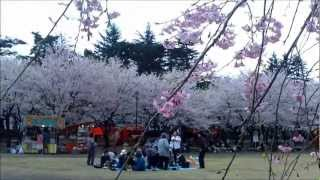 Joetsu Japan  city photo : Cherry blossoms,Takada Castle Joetsu,Japan