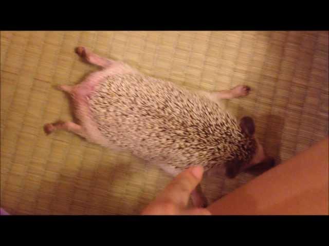 ハリネズミびろーん -  Funny Pose Hedgehog