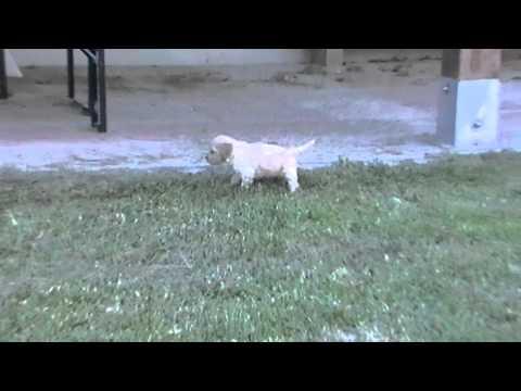 Vendita cucciolata lagotto romagnolo bianco beige pedigree roi